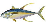 Where can I buy fresh Yellowfin tuna (Ahi) from a local farmer.
