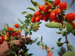 Where can I buy fresh Goji berry from a local farmer.