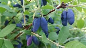 Where can I buy fresh Honeyberry from a local farmer.