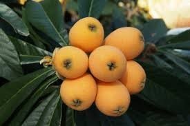Where can I buy fresh Loquat from a local farmer.