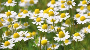 Where can I buy fresh Chamomile from a local farmer.