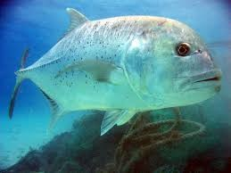 Where can I buy fresh, Hawaii Local Fish