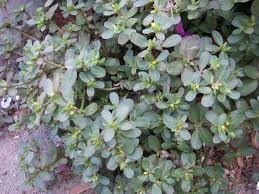 Where can I buy fresh Purslane from a local farmer.