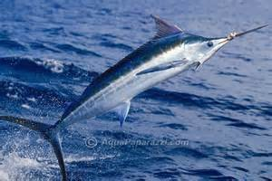 Where can I buy fresh Blue marlin from a local farmer.