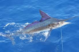 Where can i buy Striped marlin?  Find out which local farmer has Striped marlin for sale.