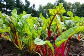 Where can I buy fresh Chard from a local farmer.