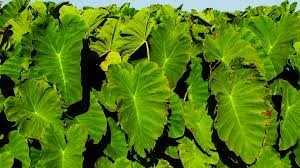 Where can I buy fresh Kalo Taro from a local farmer.