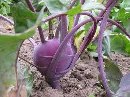 Where can i buy Kohlrabi?  Find out which local farmer has Kohlrabi