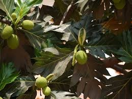 Where can i buy Ulu Breadfruit?  Find out which local farmer has Ulu Breadfruit for sale.