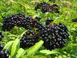 Where can i buy Elderberry?  Find out which local farmer has Elderberry for sale.