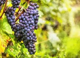 Where can i buy Grape?  Find out which local farmer has Grape for sale.