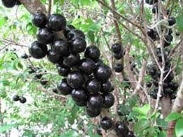 Where can i buy Jabuticaba?  Find out which local farmer has Jabuticaba for sale.