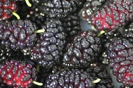 Where can i buy Mulberry?  Find out which local farmer has Mulberry for sale.