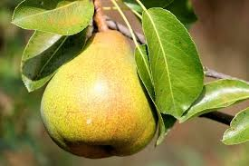 Where can I buy fresh Pear from a local farmer.