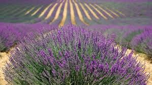 Where can I buy fresh Lavender from a local farmer.