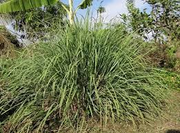 Where can I buy fresh Lemon Grass from a local farmer.