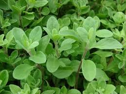 Where can I buy fresh Marjoram from a local farmer.