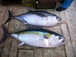 Where can I buy fresh Ahi Bigeye Tuna from a local farmer.