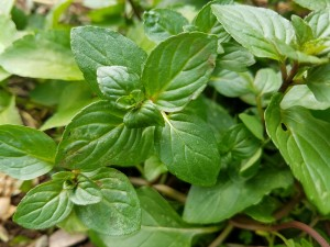 Where can I buy fresh Mint from a local farmer.