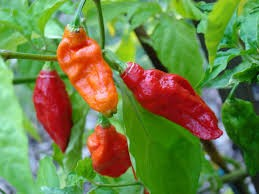 Where can I buy fresh Ghost Pepper from a local farmer.