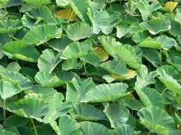 Where can i buy Luau Leaf?  Find out which local farmer has Luau Leaf for sale.
